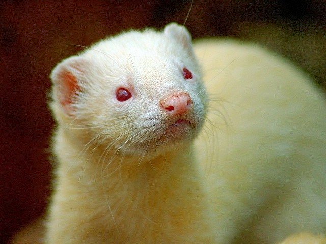 [Image: albino-ferret.jpg]